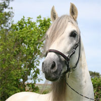 Paso Fino Stallion Destello IA
